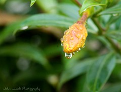 Morning bud. (John_Jacob7) Tags: bud flowers flower yellow summer water droplet spring bright colorful plant nature green