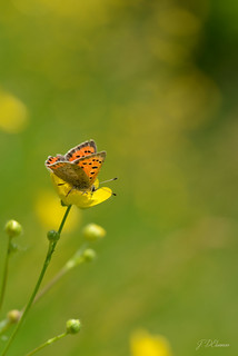 Kleine vuurvlinder ~ Lycaena phlaeas