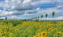Summer Landscape (Martine Lambrechts) Tags: summer landscape nature flowers sunflowers tree