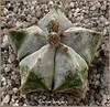 astrophitum (carlosjunquero) Tags: ferocactus cactus botanic