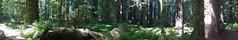 California Redwoods (artofjonacuna) Tags: california redwoods forest panoramic trees