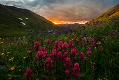 Peaked Wildflowers (PatrickDillonPhoto.com) Tags: wildflowers sunset alpine sanjuanmountains nature god creation hiking explore clouds paintbrush colorado landscape photography