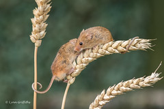 This is not a good place to whisper sweet nothings in my ear! 500_0606.jpg (Mobile Lynn - Limited internet) Tags: nature rodents harvestmouse captive fauna mammal mammals rodent rodentia wildlife greensnorton england unitedkingdom gb coth specanimal coth5 ngc sunrays5 npc fabuleuse