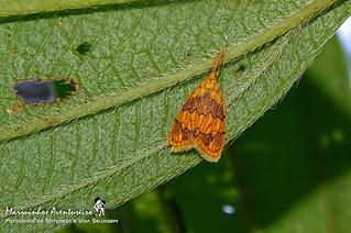 Mariposa - Abrochocis esperanza (Erebidae Arctiinae Llithosiini)