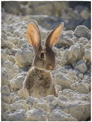 CONEJO (BLAMANTI) Tags: conejo conejos rabbit camuflaje viñedos viñas viticultura coqueto retrato posado provocador espavilado simpatico sexi