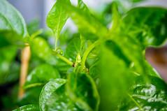 Carolina Reaper (stankar) Tags: chilli peppers hot superhot indoor chili