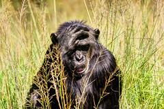 Le penseur (Mat Distef) Tags: afriquedusud southafrica travel nature light portrait animal singe ape