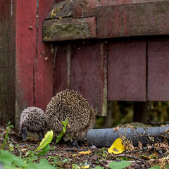 Mother and child (Mika Lehtinen) Tags: hedgehog igelkott wild wildlife mother child pup nature animal close run running hide