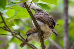 20170610-IMGP8974.jpg (Yunhyok Choi) Tags: feather beak tree nature brownearedbulbul wing nest summer bird wildlife fledgling animal hwaseongsi gyeonggido southkorea