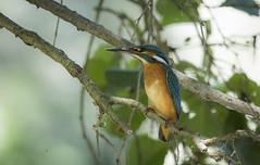 My friend Martin McFish (fabiokappa82) Tags: martinpescatore kingfisher bird birdwatching birds villareale canon canon80d canon100400 cassolnovo italia ticino ticinoriver pavia parcodelticino