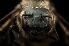 Osmia felti, f, face, centre county, PA_2017-06-20-15.27 (Sam Droege) Tags: zerenestacker stackshot geologicalsurvey unitedstatesgeologicalsurvey departmentoftheinterior droege biml beeinventoryandmonitoringlaboratory bug bugs canon closeup macro insect patuxentwildliferesearchcenter pwrc usgs dofstacking stacking canonmpe65 taxonomy:binomial=osmiafelti animals animal bee bees apoidea hymenoptera pollinator nativebee entomology centrecounty laurarusso pennsylvania masonbee