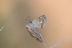 Collier de corail (fabriciodo2) Tags: collierdecorail argus macro couchédesoleil papillon nature tamron90 argusbrun