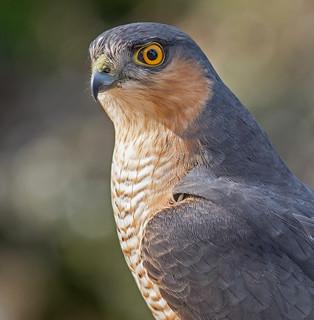 DSC4333 Sparrowhawk Portrait...