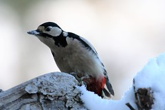 Dendrocopos major, le pic épeiche, the great spotted woodpecker. (chug14) Tags: animalia aves piciformes picidae greatspottedwoodpecker picépeiche dendrocoposmajor