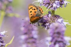 DN9A6597 (Josette Veltman) Tags: vlinders insects insecten butterfly macro nature natuur landgoed dehorte dalfsen landschapoverijssel