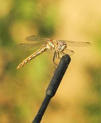 A variegated meadowhawk dragonfly, on my car arial! (Ruby 2417) Tags: variegated meadowhawk prius arial guinda cache creek yolo