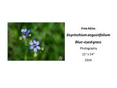"Sisyrinchium angustifolium Blue-eyed grass • <a style=""font-size:0.8em;"" href=""https://www.flickr.com/photos/124378531@N04/35618590230/"" target=""_blank"">View on Flickr</a>"
