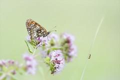 Wohin läufst du? (angelika.kart) Tags: natur insekten wiese schmetterling ameise grashalm blüten