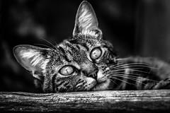 Tout vrai regard est un désir (gwennscott) Tags: cat chat animals animaux félin blackwhite