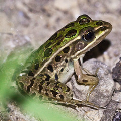 199/365 (local paparazzi (isthmusportrait.com)) Tags: 365project canon5dmarkii 100mmf28lmacro 100mm f28l macro micro closeup frog lopaps pod 2017 iso3200 noise grain lowlight headlamp headlight redskyrocketman localpaparazzi isthmusportrait lithobatespipiens northernleopardfrog froggy f71 details sharpness contrast pse7 raw photoshopelements7 danecountywisconsin amphibian green kermit