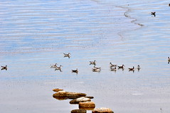 Red-necked Phalaropes by the rocks (Great Salt Lake Images) Tags: summer morning causeway migratorybirds greatsaltlake utah