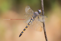 Ringed Cascader (Luís Louro) Tags: odonata animals anisoptera zygonyx torridus macro portugal dragonflies insects wildlife wildlifephotography wings predators