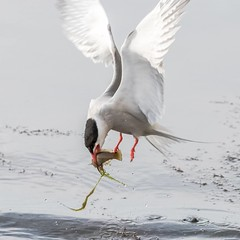 Common tern with a good catch (frosol) Tags: canon eos 80d canon80d ef100400mmisiiusm natur nature bird birds tern terne makrellterne commontern wildlife sea fish fisk norge norway