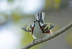 Chestnut-sided Warbler (av8s) Tags: chestnutsidedwarbler warbler birds perchingbirds songbirds nature wildlife photography nikon d7100 sigma 120400mm nescopeckstatepark pennsylvania pa