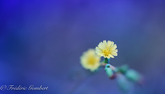 Minimalism (frederic.gombert) Tags: flower yellow sun light color sunlight blue macro nikon tiny garden bloom