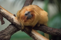 Golden Lion Tamarin (Lena and Igor) Tags: animal travel zoo brookfield bokeh eyes america us usa unitedstates illinois nature dslr nikon d810 sigma 150600 contemporary face red portrait