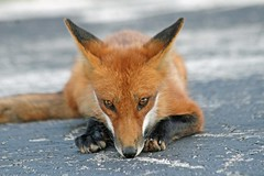 Fox Mystic (marylee.agnew) Tags: red fox close eyes magic canine wildlife nature urban
