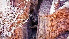 Hide and Seek (Amazing Aperture Photography) Tags: animal wildlife cat bigcat mountainlion cougar puma hide camouflage predator carnivore mammal nature desert sonorandesert arizona stalk stealthy sonya6000