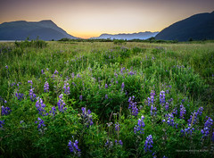 Last of the lupines (Traylor Photography) Tags: alaska lupine landscape wildflowers girdwood 20mileriver nature mountains colors portage panorama sunset anchorage light unitedstates us