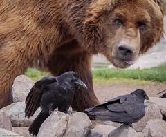 Sam - Captive Grizzly Bear (petechar) Tags: petechar charlesrpeterson animal captive zoo grizzlybear mammalia carnivora ursidae ursusarctos grizzlyandwolfdiscoverycenter westyellowstone montana panasonicgh5 panasonicleica100400