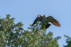 IMG_5170 (DavidMC92) Tags: canon eos 7d tamron sp 70300mm will rogers park oklahoma city mississippi kite