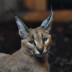 Caracal (asterix_93) Tags: portrait beauty eyes nikon animal cute model face ears head nose zoo mammal caracal d810
