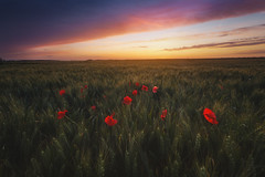 Summer's corn poppy (jonathan le borgne) Tags: canon outside field cornpoppy light colors sunset dawn red flowers sky clouds green sun landscape paysage summer pink orange new romantic nostalgic