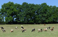 Happy Cows (Herr Nergal) Tags: animals cow fz1000 lumix panasonic 1 saarland deutschland landscape tiere sommer wiese baum bäume meadows trees blue sky clouds