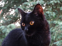 I'm going to Catch that Crow Now (knightbefore_99) Tags: cat gato kitty chat black noir pretty gold eyes feline furry cute baby girl sweet hunt garden