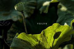 D66_9941 (brook1979) Tags: 台北市 植物園 荷 蓮 荷花 蓮花 葉 花 lotus flower