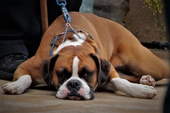 One Tired Dog (qorp38) Tags: dog boxer