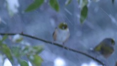 snow and feathers (birdcloud1) Tags: silvereyes tauhou waxeyes zosteropslateralis newzealandbirds birds snow winter canonsx60hs c canonsx60 amandakeoghphotography amandakeogh birdcloud1 video dunedin newzealand happilyfreefromfencesfriday
