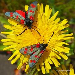 Six Spot Burnet Moth3 (g crawford) Tags: crawford ayrshire northinsectmothnorth