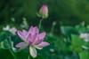 Kenilworth Aquatic Gardens_2017-4 (Nikon Blair) Tags: kenilworthaquaticgardens washingtondc flowers lotusflowers lilypad