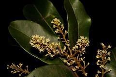 Mischocarpus pyriformis subsp. pyriformis (andreas lambrianides) Tags: mischocarpuspyriformissubsppyriformis sapindaceae pearfruitedmischocarp pearfruitedtamarind australianflora australiannativeplants australianrainforests australianrainforestplants australiannativeflowers australianrainforestflowers arfflowers arfp qrfp nswrfp whitearfflowers ratoniapyriformis dryarf littoralarf subtropicalarf