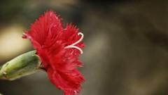 #photography #canon700d #bahar #spring #red #kırmızı #nature #doğa #karanfil #çiçek #flower #clove (oppeslife) Tags: çiçek nature red clove spring canon700d flower photography doğa karanfil kırmızı bahar