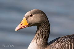 Keeping an eye on me D75_7313.jpg (Mobile Lynn) Tags: birds wild geese greylaggoose nature anseriformes bird fauna wildlife estuaries freshwater lagoons lakes marshes ponds waterfowl webbedfeet hurst england unitedkingdom gb