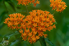 butterflyweed, asclepias tuberosa (ats8110) Tags: butterflyweed asclepiastuberosa wildflowers michigan native wild d700 nikon