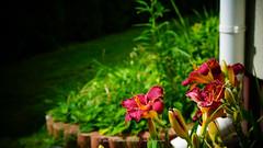 DSC00641 (Aldona Induła) Tags: hoyafilters sony a6000 bezedycji daylily flower garden hemmerocallis kwiat liliowiec ndx8filter notedited ogród prostozaparatu straightfromthecamera