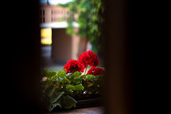 Morning glimpse (Luca Cambriglia) Tags: italy europe nature flower flowers morning sunrise home house light lights color colors red green room bedroom glimpse view panorama wakeup explore observe feel live life tones contrast natural photo photography photographer nikon tamron d750 zoom full fullframe sensor beauty art detail details macro love peace relax tree trees building city citylife outdoor indoor window glass